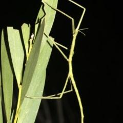 Ctenomorpha marginipennis (TBC) at Broulee, NSW - 27 Feb 2019 by jbromilow50