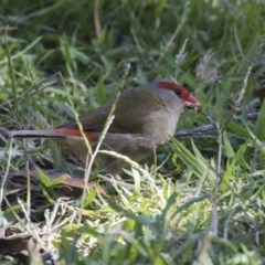 Neochmia temporalis (Red-browed Finch) at ANBG - 21 Feb 2019 by Alison Milton