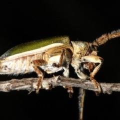Rhytiphora nigrovirens (green longhorn beetle) at Guerilla Bay, NSW - 26 Feb 2019 by jbromilow50