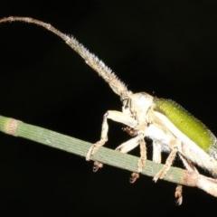 Rhytiphora nigrovirens (green longhorn beetle) at Broulee, NSW - 27 Feb 2019 by jbromilow50