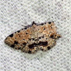 Sandava scitisignata (A noctuid moth) at O'Connor, ACT - 27 Feb 2019 by ibaird