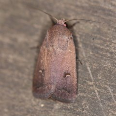Proteuxoa hypochalchis (An owlet moth) at O'Connor, ACT - 27 Feb 2019 by ibaird