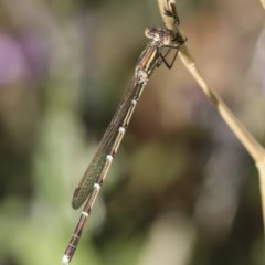 Austrolestes analis (Slender Ringtail) at Higgins, ACT - 28 Feb 2019 by AlisonMilton