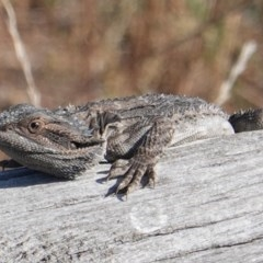 Pogona barbata (Eastern Bearded Dragon) at Red Hill Nature Reserve - 26 Feb 2019 by JackyF