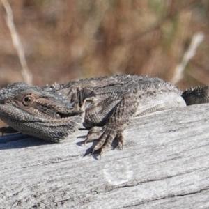 Pogona barbata at Red Hill Nature Reserve - 27 Feb 2019