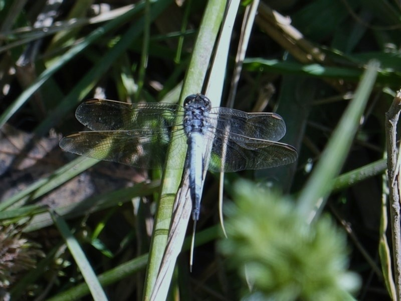 Orthetrum caledonicum at Red Hill Nature Reserve - 1 Mar 2019