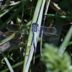 Orthetrum caledonicum (Blue Skimmer) at Red Hill Nature Reserve - 28 Feb 2019 by JackyF