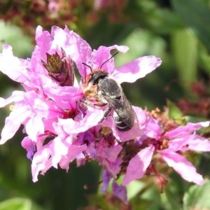 Megachile aurifrons at ANBG - 28 Feb 2019