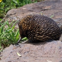Tachyglossus aculeatus (Short-beaked Echidna) at ANBG - 28 Feb 2019 by RodDeb