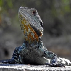 Intellagama lesueurii (Eastern Water Dragon) at Gibraltar Pines - 25 Feb 2019 by RodDeb