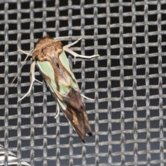 Cosmodes elegans (Green blotched moth) at Higgins, ACT - 15 Dec 2018 by Alison Milton