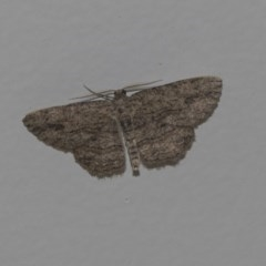 Ectropis sp. (genus) (An engrailed moth) at Higgins, ACT - 28 Feb 2019 by Alison Milton