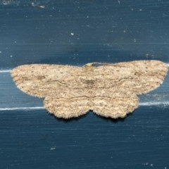 Ectropis excursaria (Common Bark Moth) at Higgins, ACT - 15 Dec 2018 by Alison Milton