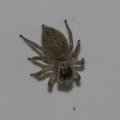 Hypoblemum griseum (A jumping spider) at Higgins, ACT - 25 Feb 2019 by Alison Milton