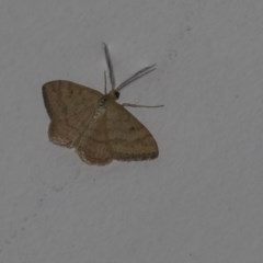 Scopula rubraria (Reddish Wave) at Higgins, ACT - 25 Feb 2019 by Alison Milton