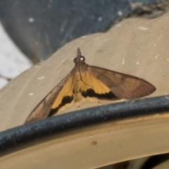 Uresiphita ornithopteralis (Tree Lucerne Moth) at Higgins, ACT - 27 Feb 2019 by Alison Milton