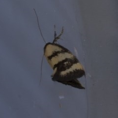 Olbonoma triptycha (Concealer moth) at Higgins, ACT - 27 Feb 2019 by Alison Milton