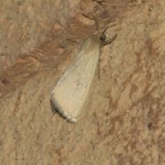 Heliocheilus sp. (genus) (Heliothine moths) at Higgins, ACT - 26 Feb 2019 by Alison Milton