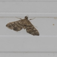 Nacoleia rhoeoalis (A Pyralid Moth) at Higgins, ACT - 27 Feb 2019 by Alison Milton