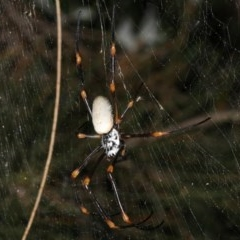 Nephila plumipes (Humped golden orb-weaver) at Broulee, NSW - 27 Feb 2019 by jbromilow50