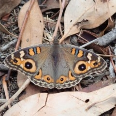 Junonia villida (Meadow Argus) at Spence, ACT - 2 Mar 2019 by Laserchemisty