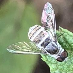Villa sp. (genus) (Unidentified Villa bee fly) at Monash, ACT - 2 Mar 2019 by jackQ