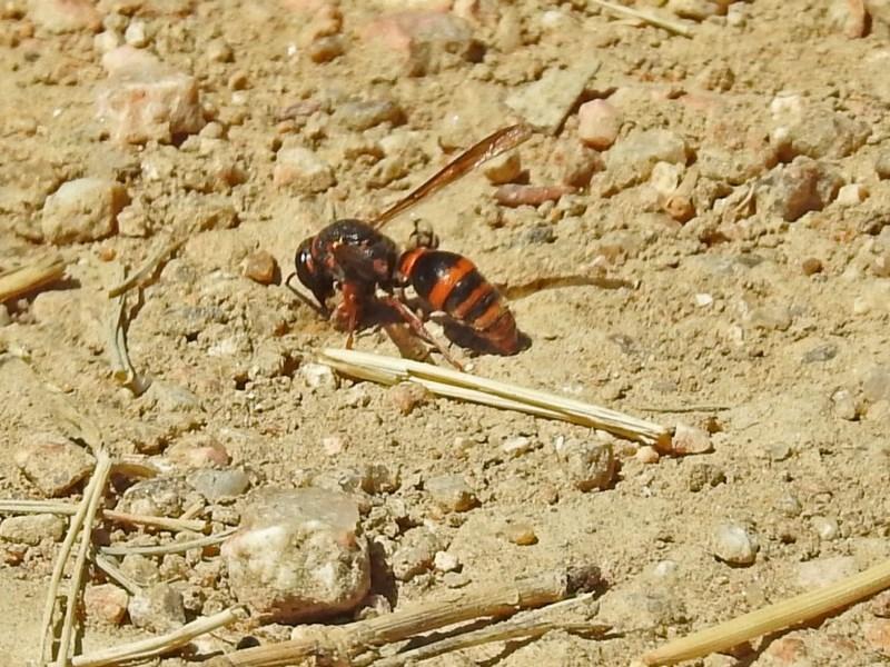 Eumeninae sp. (subfamily) at Jerrabomberra Wetlands - 1 Mar 2019
