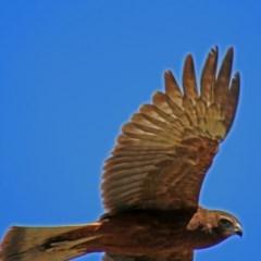Circus approximans (Swamp Harrier) at Jerrabomberra Wetlands - 1 Mar 2019 by RodDeb