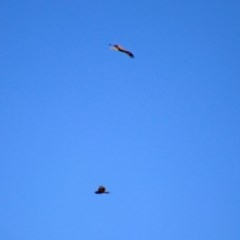 Circus approximans at Fyshwick, ACT - 1 Mar 2019
