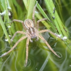 Dolomedes sp. (genus) (Fishing spider) at Spence, ACT - 2 Mar 2019 by Laserchemisty