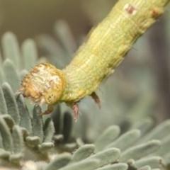 Geometridae (family) IMMATURES (Unidentified IMMATURE Geometer moths) at Weetangera, ACT - 25 Feb 2019 by Alison Milton