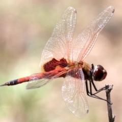 Tramea loewii (Common Glider) at Mogo, NSW - 26 Feb 2019 by jbromilow50