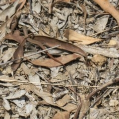 Morethia boulengeri (Boulenger's Skink) at Mount Painter - 26 Feb 2019 by Alison Milton