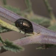 Ditropidus sp. (genus) (Leaf beetle) at The Pinnacle - 25 Feb 2019 by AlisonMilton