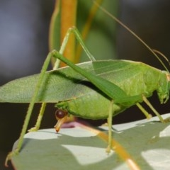 Caedicia simplex (Common Garden Katydid) at ANBG - 27 Feb 2019 by TimL