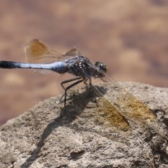 Orthetrum caledonicum (Blue Skimmer) at Mogo, NSW - 26 Feb 2019 by jbromilow50