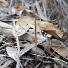 Corunastylis cornuta (Horned midge orchid) at Aranda Bushland - 1 Mar 2019 by CathB