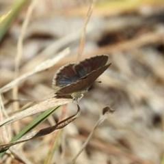 Zizina otis (Common Grass-Blue) at Theodore, ACT - 3 Mar 2019 by RodDeb