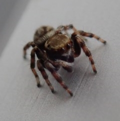 Opisthoncus sp. (genus) (Unidentified Opisthoncus jumping spider) at Spence, ACT - 2 Mar 2019 by Laserchemisty