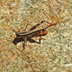 Macrotona australis (Common Macrotona Grasshopper) at Theodore, ACT - 3 Mar 2019 by RodDeb