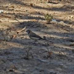 Taeniopygia bichenovii (Double-barred Finch) at Theodore, ACT - 3 Mar 2019 by RodDeb