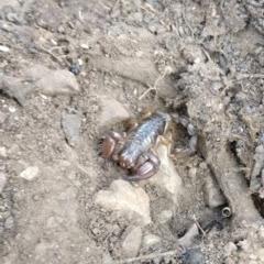 Urodacus manicatus (Black Rock Scorpion) at Gossan Hill - 1 Mar 2019 by LankyMoth