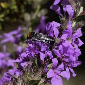 Megachile aurifrons at Tidbinbilla Nature Reserve - 3 Mar 2019