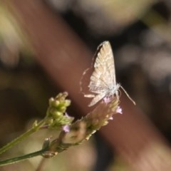Theclinesthes serpentata (Saltbush Blue) at Red Hill Nature Reserve - 3 Mar 2019 by JackyF