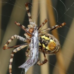 Argiope trifasciata (Banded orb weaver) at ANBG - 3 Mar 2019 by TimL