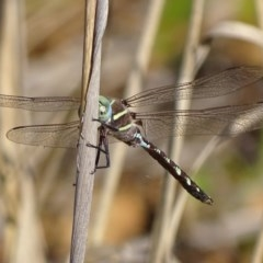 Adversaeschna brevistyla (Blue-spotted Hawker) at Fyshwick, ACT - 25 Feb 2019 by roymcd