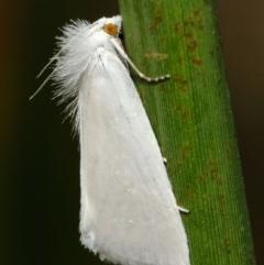 Tipanaea patulella (Grass Moth) at Acton, ACT - 27 Feb 2019 by TimL