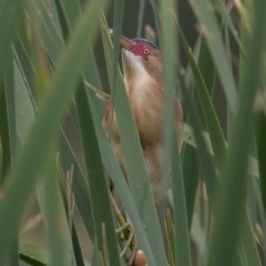 Ixobrychus dubius (Australian Little Bittern) at Jerrabomberra Wetlands - 29 Dec 2016 by rawshorty