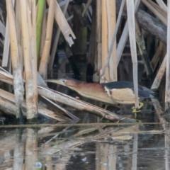 Ixobrychus dubius (Australian Little Bittern) at Jerrabomberra Wetlands - 1 Jan 2019 by rawshorty