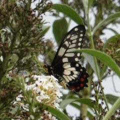 Papilio anactus (Dainty Swallowtail) at Hughes, ACT - 4 Mar 2019 by JackyF